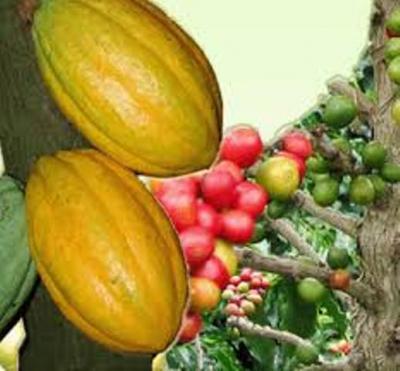 blole-cacao.jpg