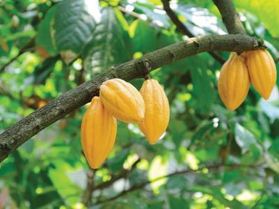 cacao-boom1.jpg
