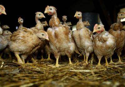grippe_aviaire.jpg